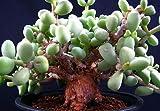 Tylecodon pygmaea - Caudexpflanze - Bonsai - 10 Samen