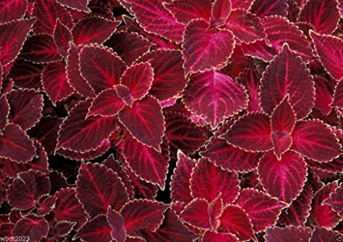 Pinkdose 500 Seeds: Coleus Seeds - Velvet Red, very Showy, Easy To Grow, Shade Loving Plant!(500 Seeds)