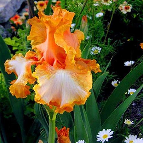 ELLEA Gartensamen- 100PCS Schwertlilien Iris Samen Iris Ensata exotische Blumensamen Blume Pflanzen winterhart mehrjährig für kleine Gärten (10)