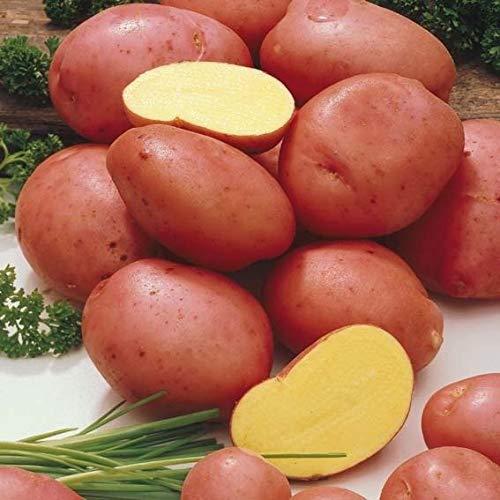 Soteer Garten - 50 Stück Salat-Kartoffel Samen Bio Gemüsesamen schmackhaft Spezialität Kartoffel Pflanzkartoffel Saatgut ertragreich winterhart für Garten Balkon/Terrasse