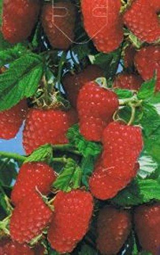 Rubus idaeus Schönemann - rote Himbeere Schönemann