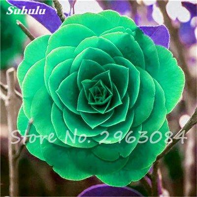 5 pièces rares Graines arc-en-Camellia fleurs, plantes en pot de bricolage, Lumière Parfumée Fleur intérieur, intérieur Bonsai planter des fleurs Semences 18