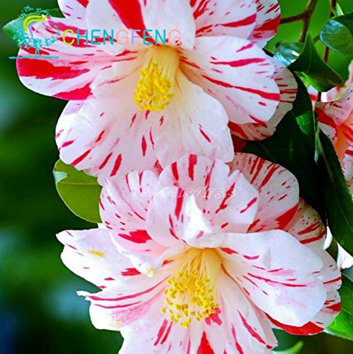 50 pc / sacchetto colorato Semi di camelia fiore straordinario Semi Diy Piante in vaso per interni / esterni Pot germinazione dei semi tasso del 95%