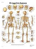 3B Scientific VR3113L Póster anatómico, El esqueleto humano