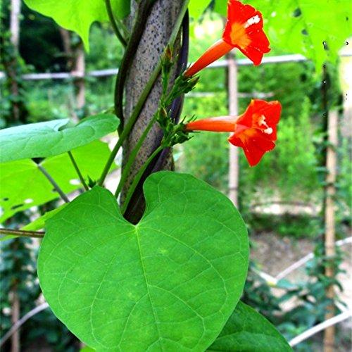 Bornbayb 50 Pièces Rouge Pentagram Fleur Cyprès Graines De Vigne Graines De Plantes Graines De Fleurs pour Jardin des Plantes