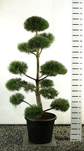 garten bonsai Formschnitt Gartenbonsai - Schwarzkiefer - Pinus Nigra var. Nigra - verschiedene Größen (200-220cm - Topf 80Ltr. - MULTIPLATEAU)