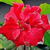 IDEA HIGH Hibiskuspflanzen Bonsai Semillas-100 Stück/Beutel, Hibiscus mutabilis, Pflanze Blumentopf Garten oder Hinterpflanze 19