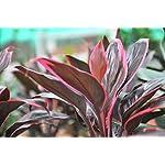 Cordyline 'Red Edge' - Live Aquarium Plants … 2
