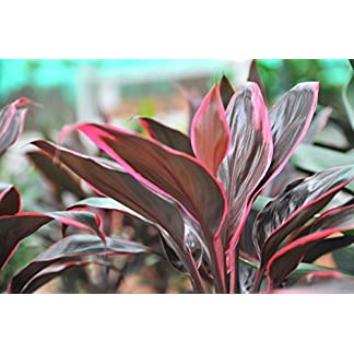Cordyline 'Red Edge' - Live Aquarium Plants … 8