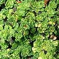 lichtnelke - Keilblättriger Steinbrech (Saxifraga cuneifolia variegata) von Lichtnelke Pflanzenversand bei Du und dein Garten