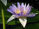 Asklepios-seeds - 30 Semillas de Nymphaea caerulea Loto de Egipto, Loto azul egipcio, Nenúfar...
