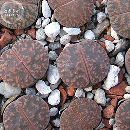 Go Garden Bellfarm Bonsai Lithops Lesliei & # 39; Pietersburg Succulent Pierres vivantes Forme Succulent Cactus Haute Germination de/pack