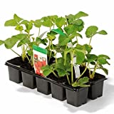 Grüner Garten Shop Erdbeere Sorte Honeoye, Erdbeerpflanze, frühe Reifezeit, aromatisch u. hoher Ertrag, im 10er Tray
