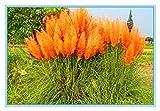 Green Seeds Co. 100pcs / bag Neues seltenes buntes Pampas-Gras. Ornamental Cortaderia Selloana Bonsai Topf Pflanzen Blume DIY Hausgarten: 3