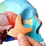 Cranstein E-231 Cranio scomponibile, versione didattica, in 22 parti (Cranio modello, colore)