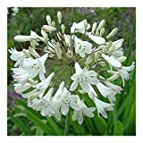 Agapanthus praecox ssp orientalis tall white - African lily - 10 seeds
