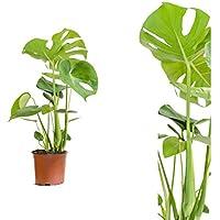 Inter Flower -Monstera delicosa,Köstliche Fensterblatt,50cm +/- , Zimmerpflanze