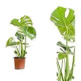Inter Flower -Monstera delicosa,Köstliche Fensterblatt,50cm +/-, Zimmerpflanze