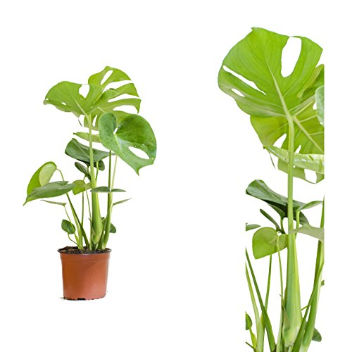 Monstera delicosa,Köstliche Fensterblatt,60cm +/- , Zimmerpflanze (Monstera Pflanze)