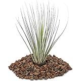 Tillandsia juncea–Loose–planta pequeña