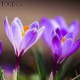 XdiseD9Xsmao 100pcs Safran Crocus Sativus Bulbes Graines Plante Graines De Fleurs Maison Jardin Bonsaï Décor De Fleurs Seulement des Graines 100pcs Graines de Crocus au Safran