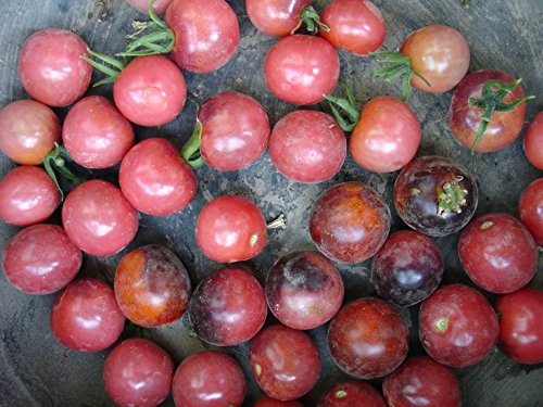 NEW VERIETY 2015/16 Indigo Cherry Drops, stunning tomato! 20 graines
