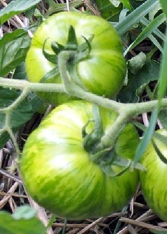 Tropica - Tomaten - Green Zebra (Lycopersicon esculentum) - 10 Samen - Historische Tomatensorte