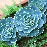 Keland Garten - 100 Stück Sukkulenten Samen Bonsai winterhart, geeignet für Garten, Büro, Haus