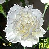 Semillas de clavel Clavel cabeza de león Semillas de almizcle envía madres gastan alrededor de 100 flores de semillas (Kang Xin nai) 3