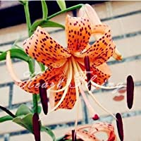 Lily lampadine vero impianto di bulbi di giglio semi di