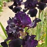 Schwertlilie, Iris barbata-elatior 'Superstition'