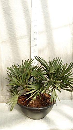 Trithrinax campestris - Blaue Nadelpalme - verschiedene Größen (80-90cm - Stamm 20+cm - Ø 55cm)