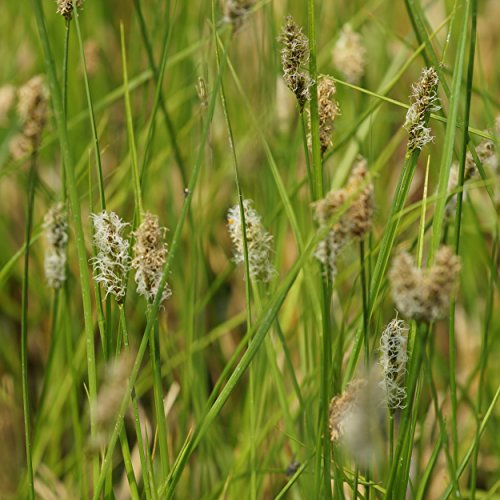Gräser - gelbgrüne