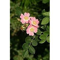 Asklepios-seeds - 50 Semillas Rosa rubiginosa Rosa eglanteria, Rosa mosqueta, mosqueta
