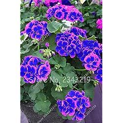 Neue Blau und Pink Einpflanzen Pelargonien Sementes De Flores Raras Doppel cplor Hausgarten 50 Stück * bag Günstige Pelargonium Bonsai Samen