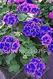 Nuovo blu e rosa Piantare gerani Sementes De Flores Raras doppio Cplor giardino domestiche 50 pz * sacchetto poco costoso Pelargonium Bonsai Seeds