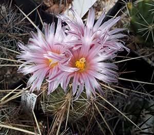 Thelocactus lausseri - 10 Samen !!! Kaktus !!!