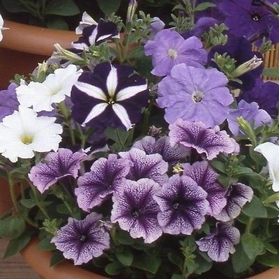 petunia-plants-grand-rapids-mix-colours12-garden-ready-plants