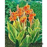 Mix Canna Lily Seeds - PRETORIA - Verändertes Laub - Exotische Blüten Startseite Blume 10 Samen