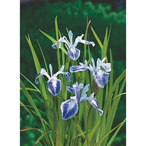 iris-laevigata-mottled-beauty-marginal-pond-plant-japanese-water-iris