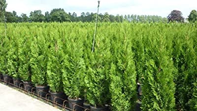 Thuja occidentalis `Smaragd´- Lebensbaum von Gardenpalms - Du und dein Garten