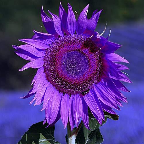 Qulista Samenhaus - 10pcs Selten Lila Sonnenblume Helianthus Sonnenblumensaat Blumensamen als Schnittblumen mehrjährig winterhart