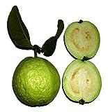Echte Guave (Psidium guajava) frische Samen **Mengen Wählbar 10,50 oder 100 Samen** (10)