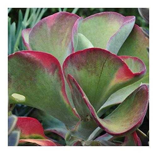 SANHOC Samen-Paket: 50 Samen: Kalanchoe thyrsiflora - Klappen - Northern Lady - Paddle - 50 SeedsSEED