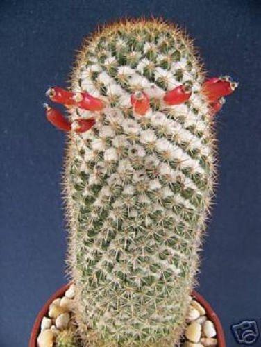 Mammillaria cactus rare Columbiana coussin graines de cactus agave de 500 graines exotiques