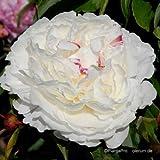 Edel-Pfingstrose, Paeonia x lactiflora 'Shirley Temple'