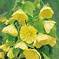 Schönmalve Julia gelb von Meingartenshop - Du und dein Garten