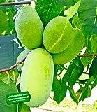 BALDUR-Garten HÄBERLI'S Indianer-Bananen - veredelte Sorte, Pau Pau (Paw Paw) 1 Pflanze, Asimina triloba