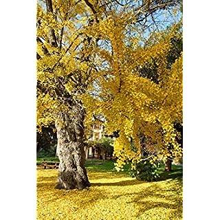Farmerly Ginkgo Biloba Rare Yellow Flowering Tree China Bonsai Exotic Plant Seed 5 Seeds