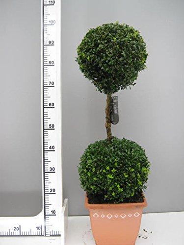 Buchsbaum 2er Kugel, Höhe: 90 cm, Bonsai, Buxus Formschnitt ! + Dünger